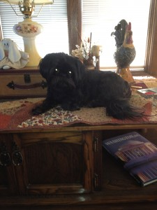 Mia being naughty at Grandma's house!  That would be a coffee table she likes to climb on and chew up pine cones or potpourri that is out!  She is a naughty girl!